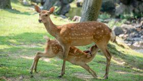 Feeding time, deers at Nara Park in the summer, Nara, Japan